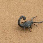 Scorpioni: habitat, abitudini, cabala