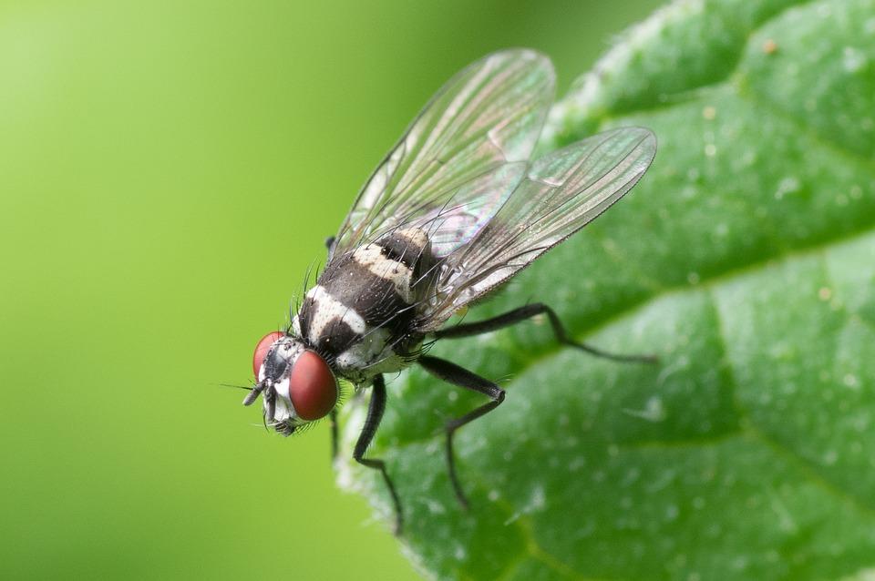 Come eliminare i moscerini della frutta per sempre