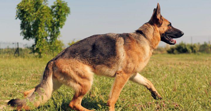 Le 10 migliori razze di cani da guardia di sempre!